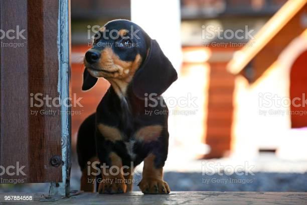 Dachshund dog summer garden picture id957884558?b=1&k=6&m=957884558&s=612x612&h=vthwenm8flrv5q1hcpc8zlihw1bzbsuaibjdwqnb7hi=