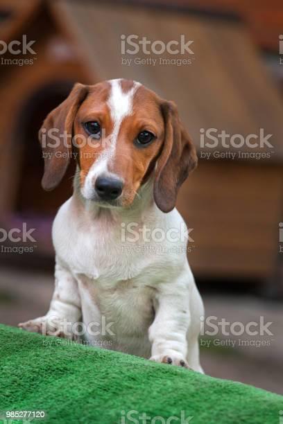 Dachshund dog summer garden picture id985277120?b=1&k=6&m=985277120&s=612x612&h=np p9o9efbfd7rsrnhbdb u bi3mmugpldq65lt8veq=