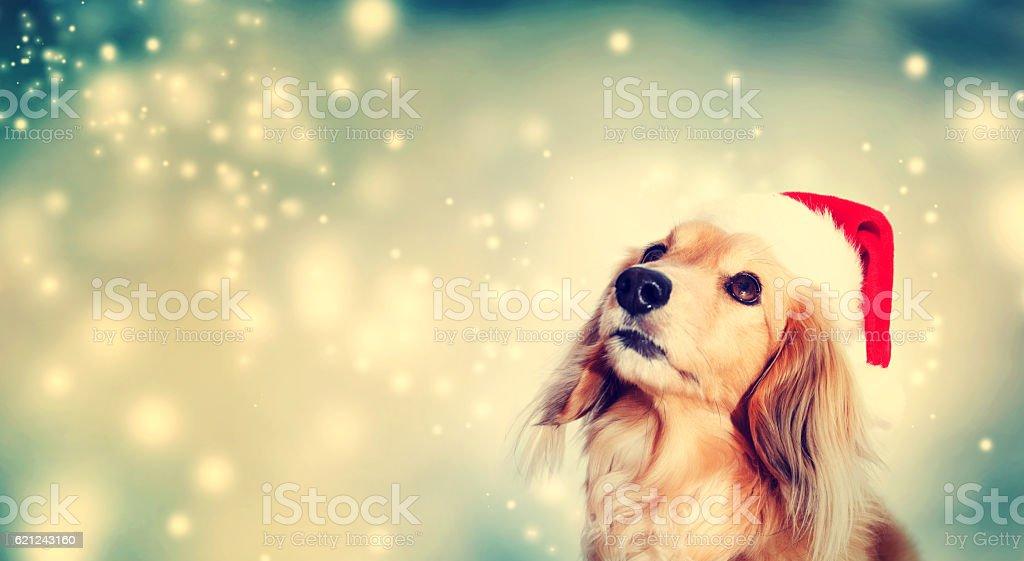 Dachshund dog wearing Santa hat – Foto