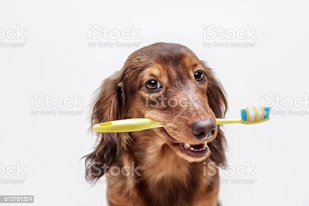 Dachshund dog with a toothbrush picture id512751324?b=1&k=6&m=512751324&s=612x612&h=ded hj0yn2ximzxzu hfnlksna0kgiqbhvxwxfwdehm=