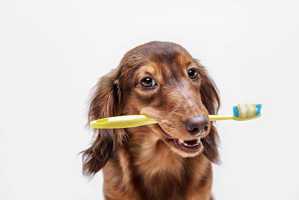 Dachshund dog with a toothbrush Dachshund dog with a toothbrush on a light background, not isolated toothbrush stock pictures, royalty-free photos & images