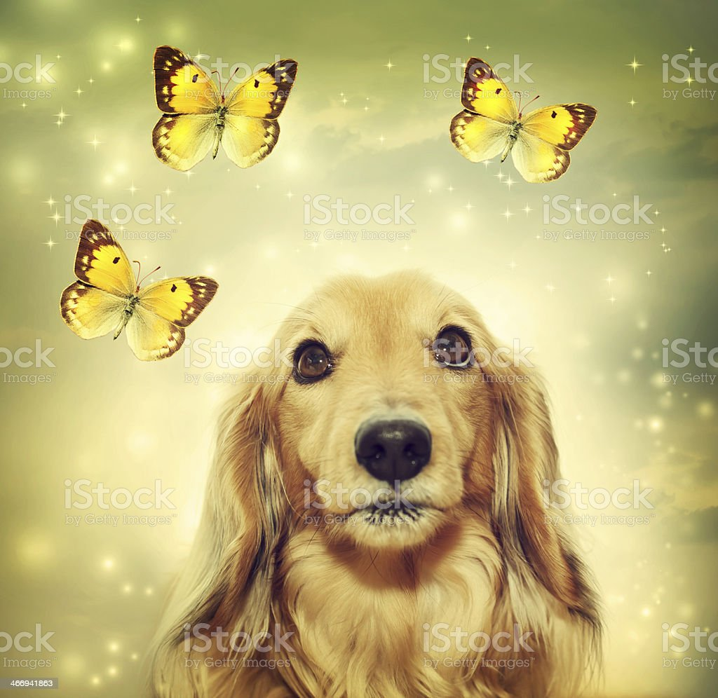 Dachshund dog with butterflies royalty-free stock photo