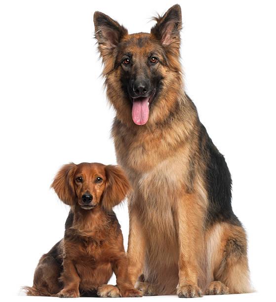 dackel, deutscher schäferhund mit zwei paws gekreuzten - hundeplätze stock-fotos und bilder