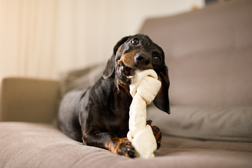 Dachshund playing at home