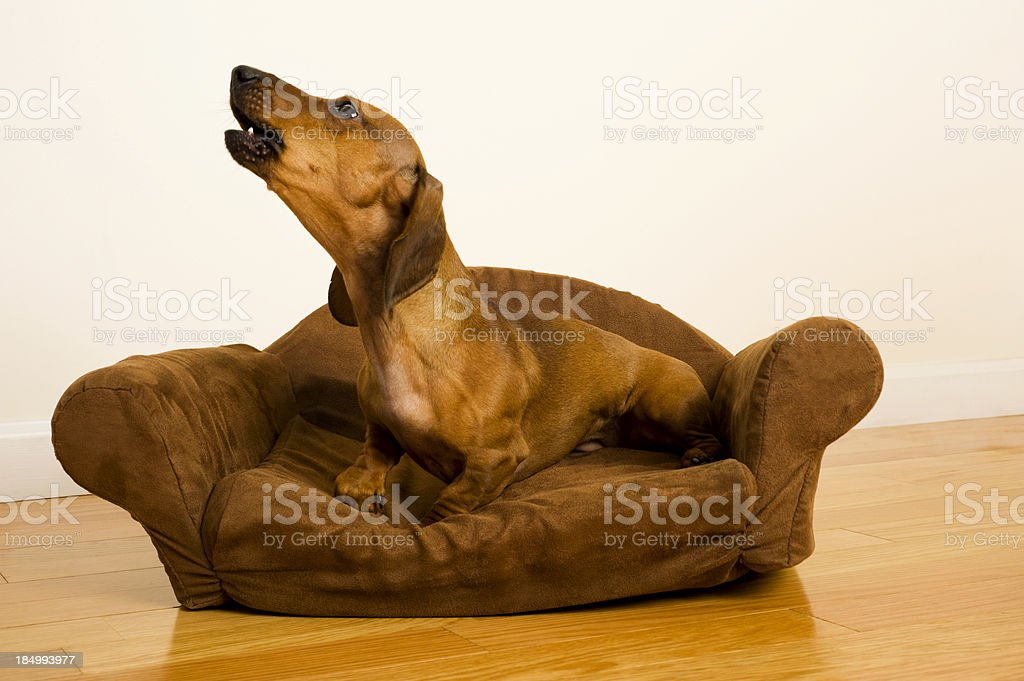Dachshund - Guard dog stock photo
