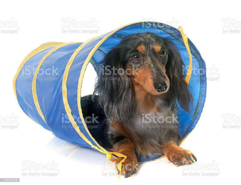 dachshund  in agility - foto de stock