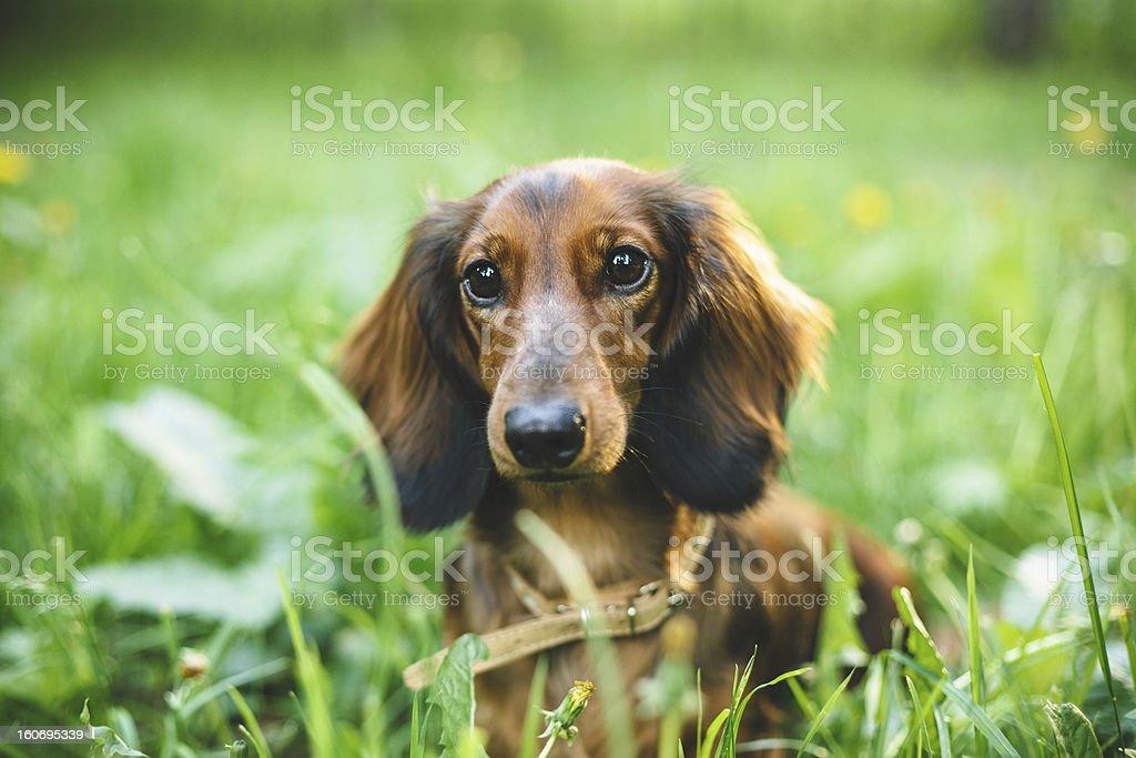 Dachshund in Dandelions stock photo
