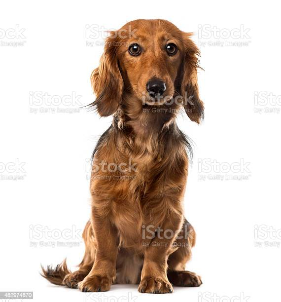 Dachshund in front of white background picture id482974870?b=1&k=6&m=482974870&s=612x612&h=pk7wuyrkryjdbtcad4 tfdondbzs07qouhrp65ixlg4=