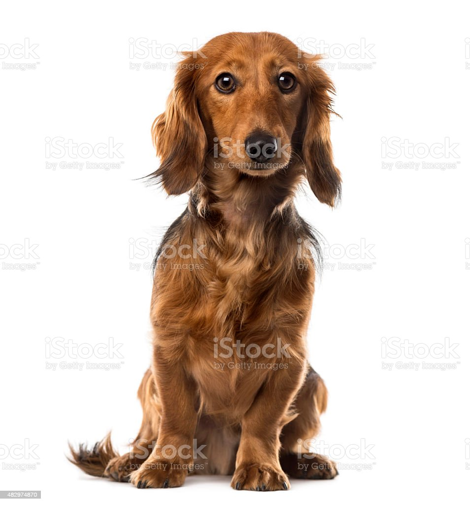 Dachshund in front of white background stock photo