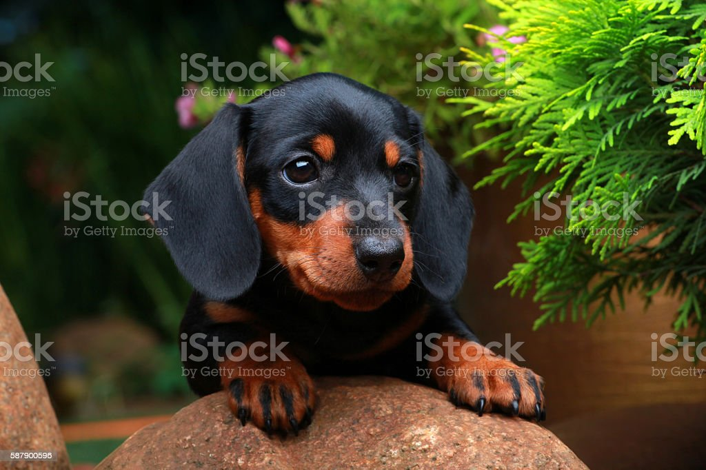 Dachshund in the garden stock photo