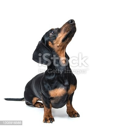 dachshund, isolated, white background,sitting