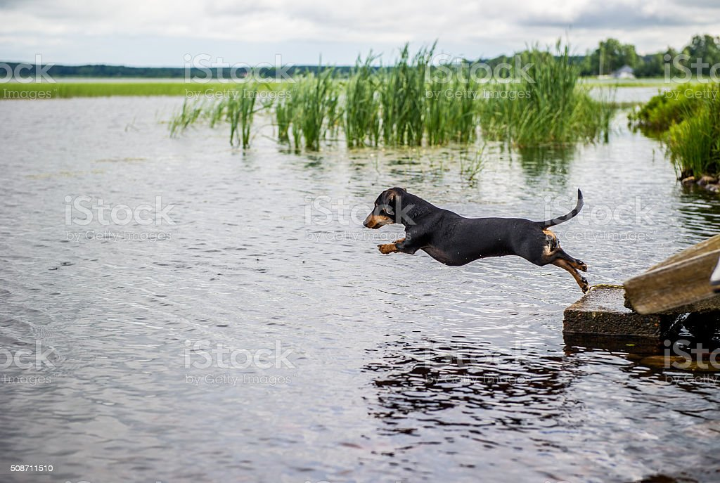 Dachshund jumping in to a lake stock photo