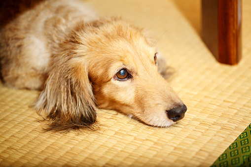 dachshund laying down on side looking at viewer with reflection on tatami.