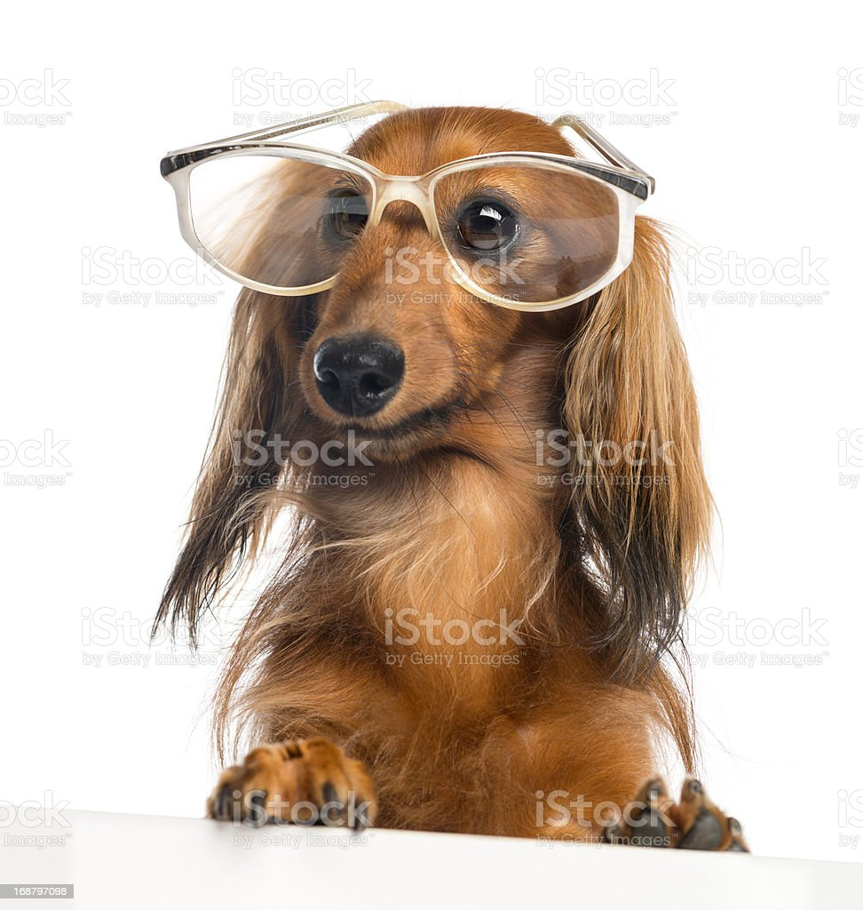 Dachshund, leaning on a white plank and wearing glasses royalty-free stock photo