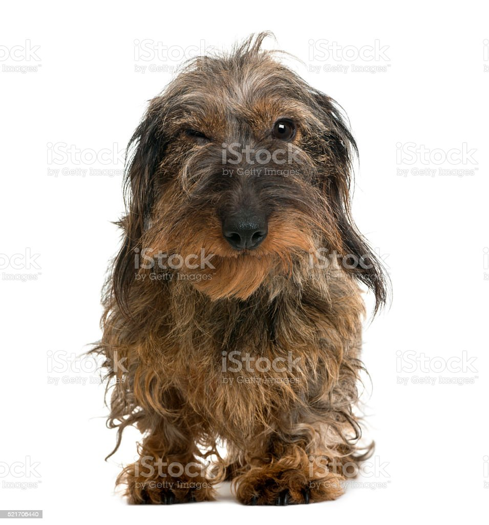 Dachshund looking at the camera, isolated on white stock photo