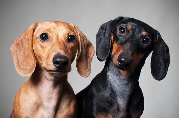 dachshund miniature purebred - tax bildbanksfoton och bilder