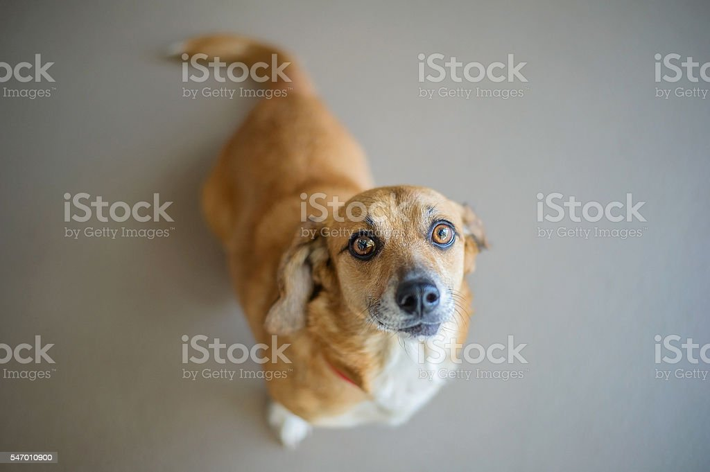 Dachshund Mix in Shelter stock photo