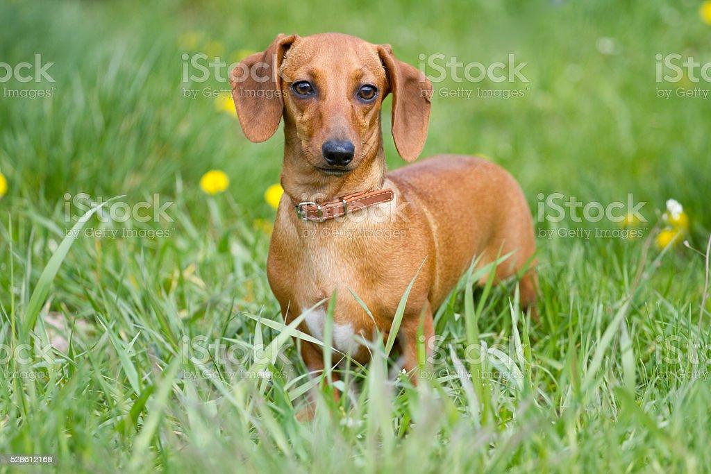 Dachshund on the grass stock photo