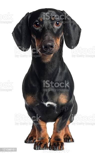 Dachshund one year old standing white background picture id121099151?b=1&k=6&m=121099151&s=612x612&h=gw 0esclkx9orttcutb9qicr1efeo 3dt1tdkndgsvo=