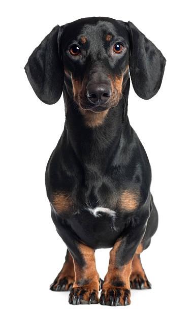dachshund, one year old, standing, white background. - tax bildbanksfoton och bilder