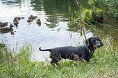Hunting dog, black-brown dachshund. near the lake in which ducks swim.