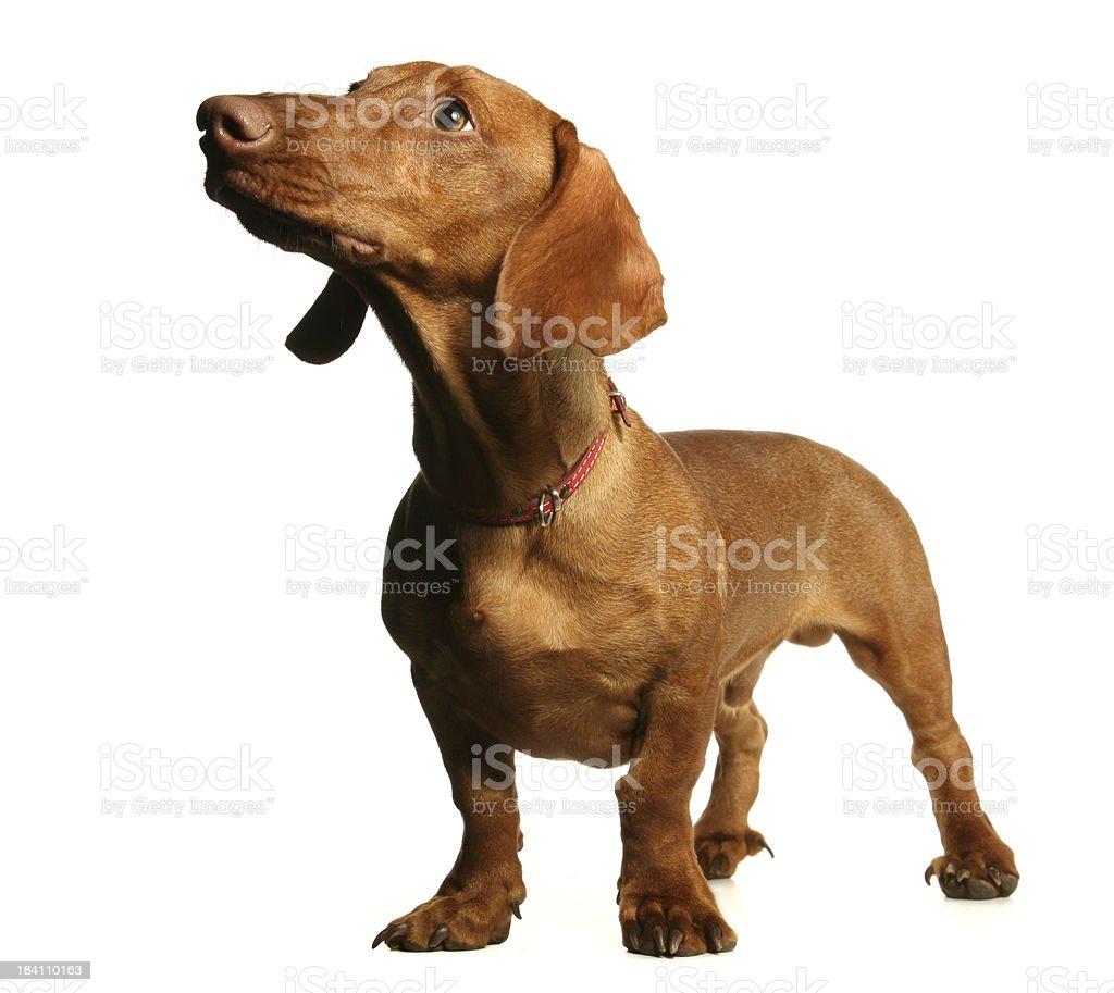 dachshund stock photo