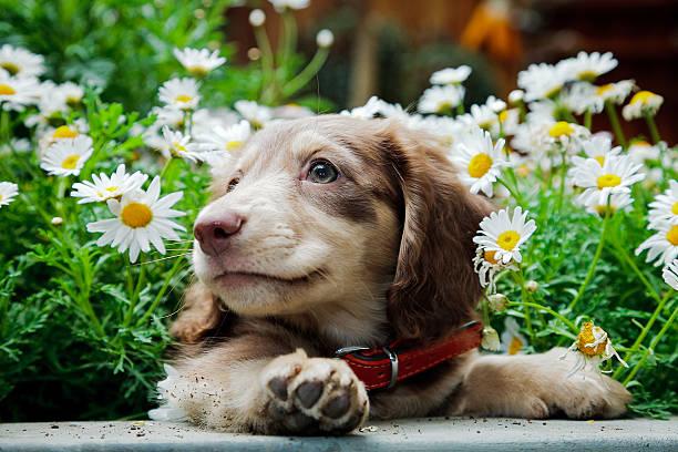 dachshund - tax bildbanksfoton och bilder