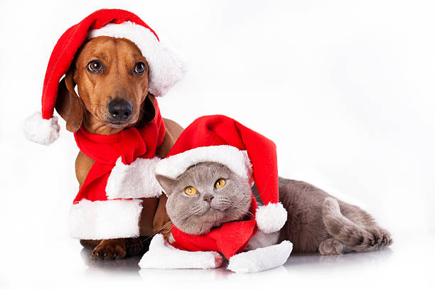 dackel - katze weihnachten stock-fotos und bilder