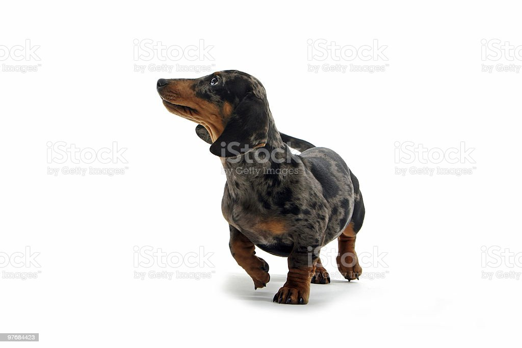 Dachshund royalty-free stock photo