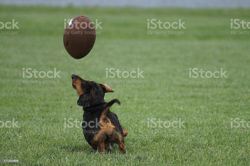 Dachshund play the football royalty-free stock photo