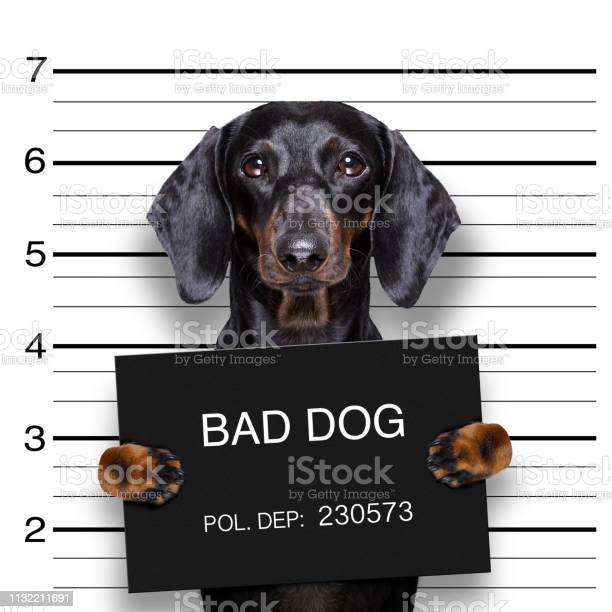 Dachshund police mugshot picture id1132211691?b=1&k=6&m=1132211691&s=612x612&h=1u8yihrxwbt wntypvrcljwjdjope8fcigkmncdhmai=