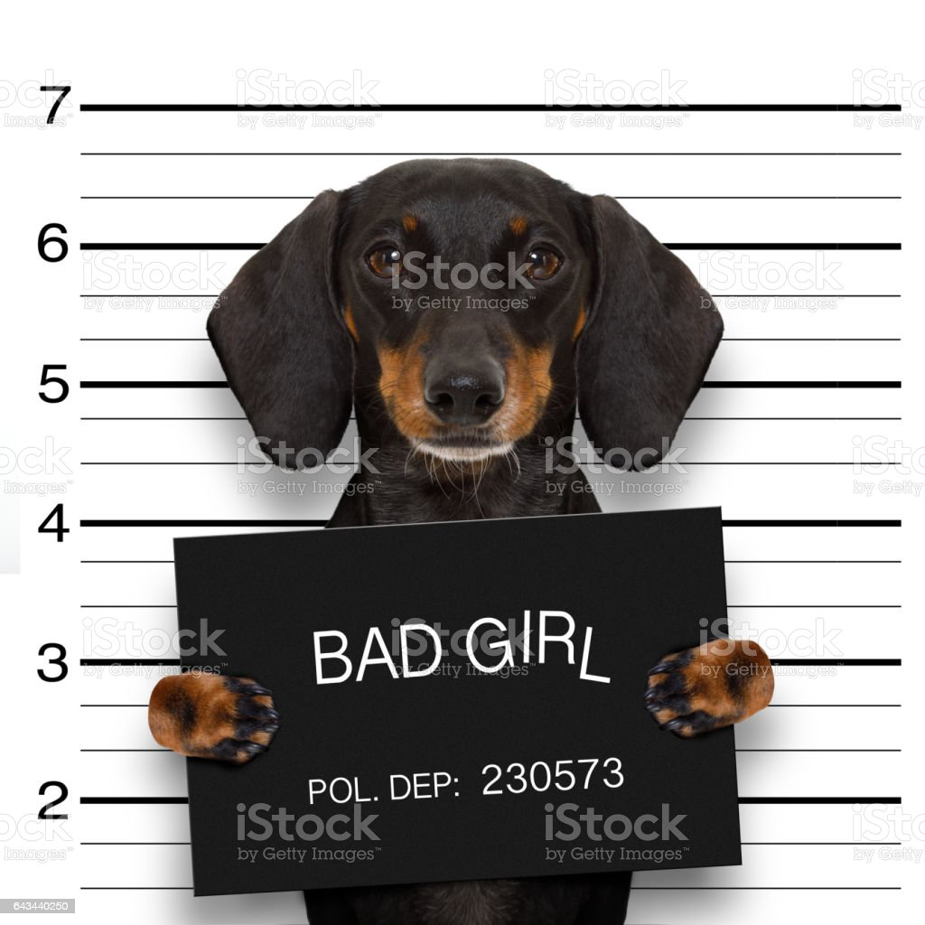 dachshund police mugshot stock photo