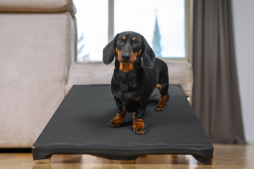A dachshund puppy, black and tan, sits on a special ramp for dog with long spine and short paws to prevent traumas at home. Safe of back health in a small pet