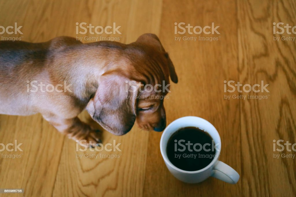 Dachshund puppy curiously looking at the cup of black coffee standing on a wooden floor. stock photo