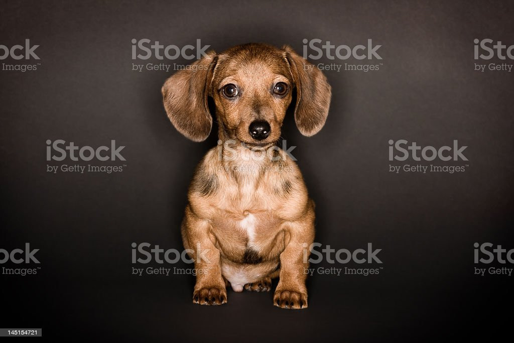 Dachshund Puppy dog royalty-free stock photo