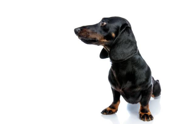 dackel welpen hund mit schwarzem fell sieht seitlich - gedehnte ohren stock-fotos und bilder