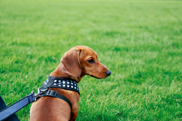 Dachshund puppy in a harness sitting on the grass in a park, looking right. stock photo