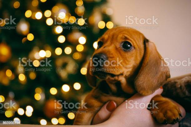 Dachshund puppy in the hands of its female owner blurred lights of picture id865966714?b=1&k=6&m=865966714&s=612x612&h=ytc7ozurv3210g13pwqaf0t etvsqpbmdcppfa5p0xk=