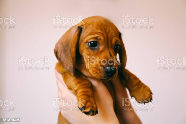 Dachshund puppy in the hands of its female owner picture id864379398?b=1&k=6&m=864379398&s=612x612&h=10mnwc0kccxpvk yfdtkhknmgr85fwvq41lv73teyqs=