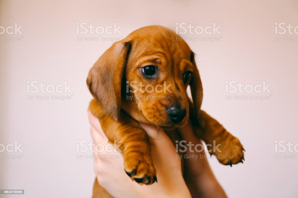 Dachshund puppy in the hands of its female owner. stock photo