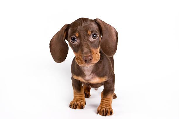 dachshund puppy - tax bildbanksfoton och bilder