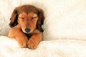 istock Dachshund puppy 479081211