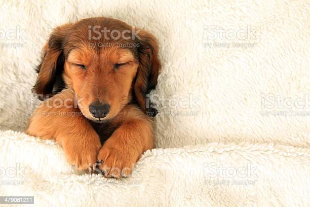 Dachshund puppy picture id479081211?b=1&k=6&m=479081211&s=612x612&h=d4bbw fgr  ucfdy kihkbgh52am3le bntpyrhaihy=