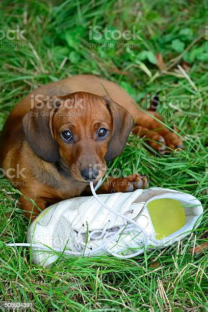 Dachshund puppy plays with shoe outside in grass picture id505634391?b=1&k=6&m=505634391&s=612x612&h=gtmqlvq7hwpp yg5vwx3rz  wpyokgvl wzetwb8b28=