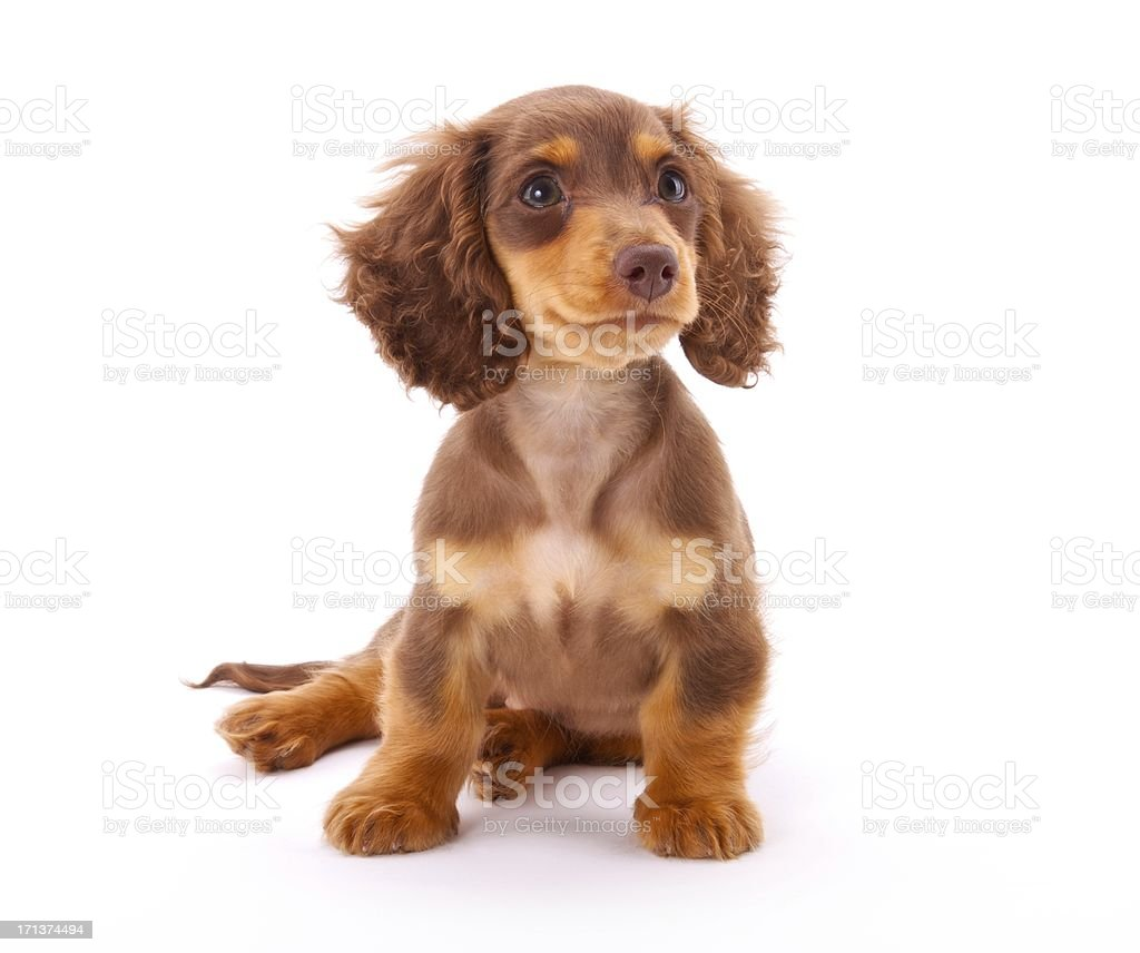 Dachshund Puppy Sitting Down Stock Photo Download Image Now Istock