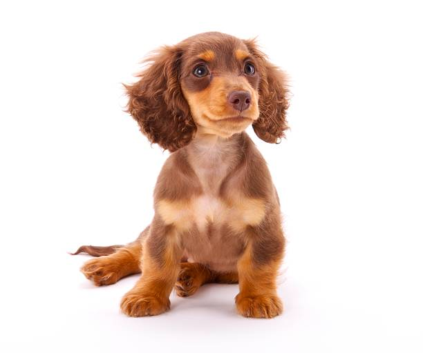 Dachshund Puppy Sitting Down stock photo