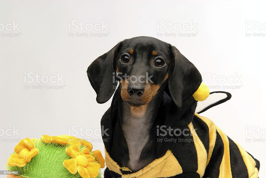 Dachshund puppy sitting next to flower pot looking guilty royalty-free stock photo