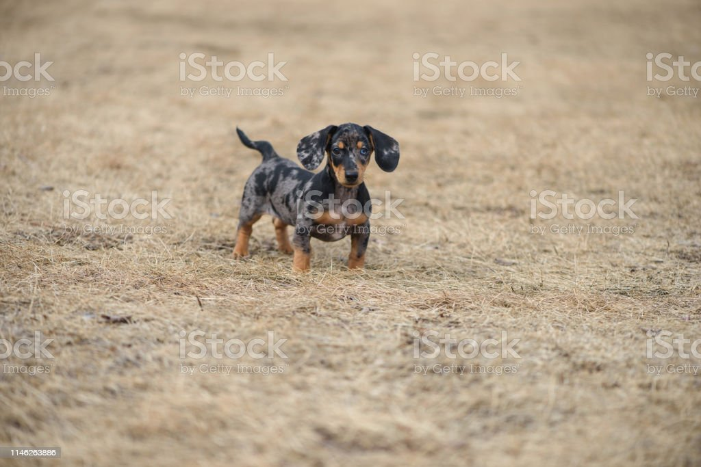 Dachshund Puppy With Blue Eye Stock Photo Download Image Now Istock