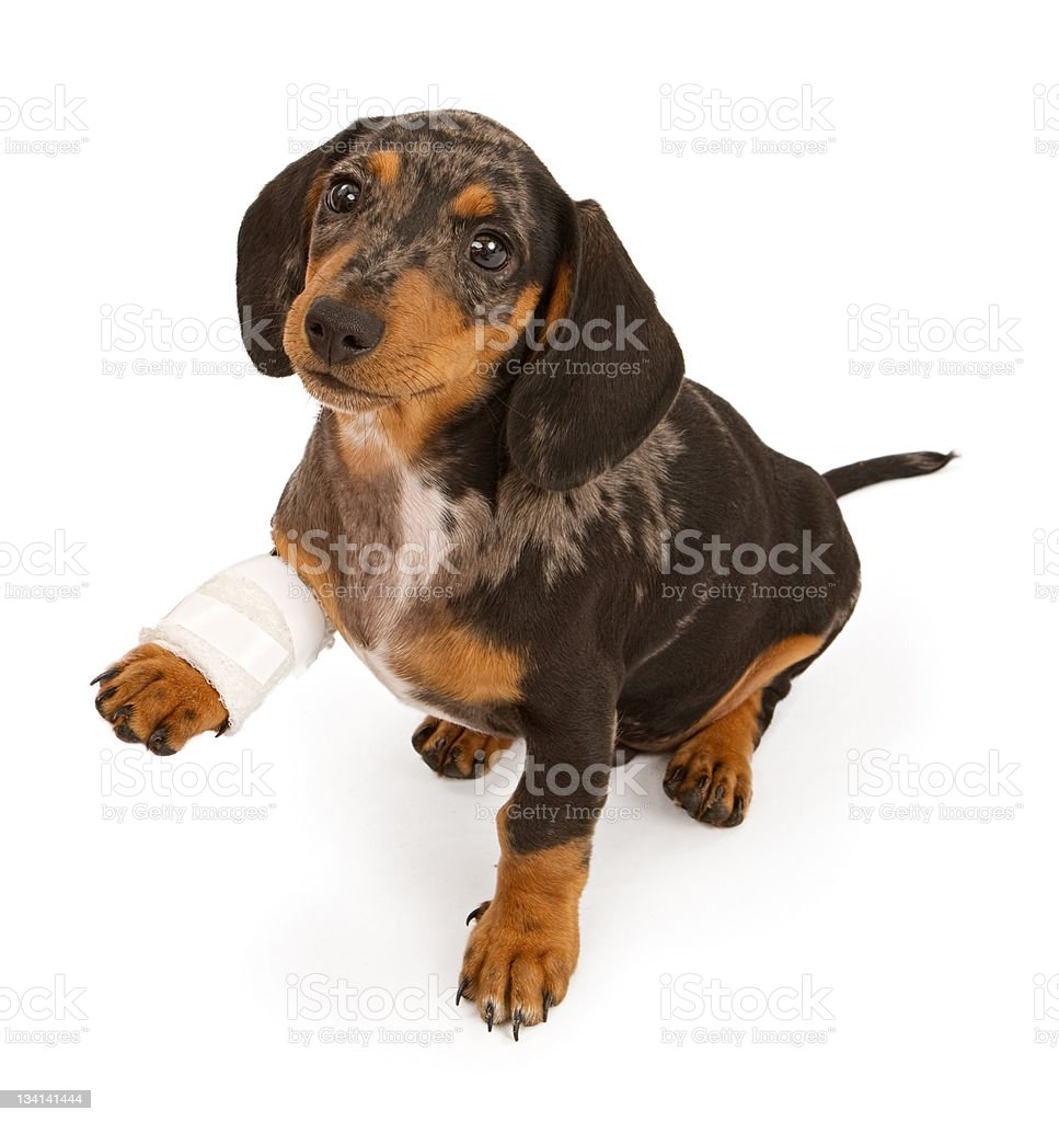 Dachshund Puppy With Injured Leg Isolated on White royalty-free stock photo