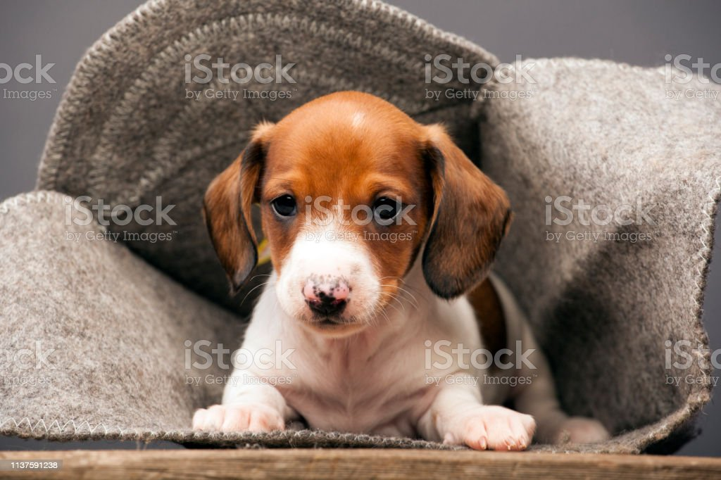 Dachshund Puppy Wool Hat Wooden Desk Grey Background Stock Photo Download Image Now Istock